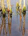 Mosgroei op oude stengels van de grote lisdodde (Typha latifolia). Locatie, De Famberhorst 01.JPG