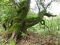 Mossy tree, Rhodfa'r Ystad - geograph.org.uk - 2082780.jpg