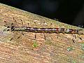 Moth Caterpillar (Noctuidae ?) (15621996442).jpg