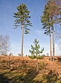 Mother and baby conifers on Mogshade Hill, New Forest - geograph.org.uk - 690795.jpg
