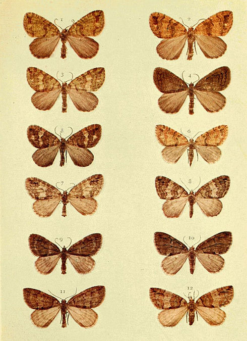 Moths of the British Isles Series2 Plate086.jpg