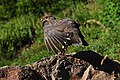 Mount Rainier - September 2017 - White-tailed ptarmigan 15.jpg