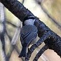 Mountain Chickadee (10788345074).jpg