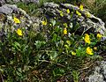 Mountain avens (Geum peckii) Group (9228073643).jpg