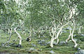 Mountain birches, Satisjaure (Satihaure), Gällivare, Lappland, Sweden (16441214891).jpg