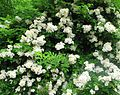 Multiflora rose mass.jpg
