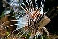 Muséum-Aquarium de Nancy - rascasse volante.jpg