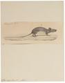 Mus argenteus - 1700-1880 - Print - Iconographia Zoologica - Special Collections University of Amsterdam - UBA01 IZ20500043.tif