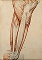 Muscles and tendons of the thigh and knee-joint. Red chalk a Wellcome V0008266.jpg