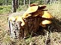 Mushroom (1467440319).jpg