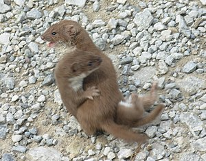 Caniformia -  The smallest caniform is the least weasel.