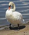 Mute swan on shore - Bialobrzegi.jpg