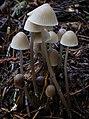 Mycena robusta (A.H. Sm.) Maas Geest., 394446.jpg