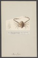 Myra fugax - - Print - Iconographia Zoologica - Special Collections University of Amsterdam - UBAINV0274 006 01 0089.tif