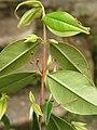 Myrcia sylvatica, purpuna - Flickr - Tarciso Leão (10).jpg
