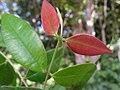 Myrcia sylvatica, purpuna - Flickr - Tarciso Leão (5).jpg
