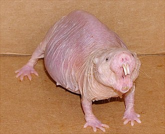 Naked mole-rat - Female mole rat