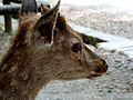 Nara deer.jpg