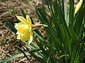 Narcissus 2005 spring 003.jpg
