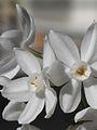 Narcissus papyraceus-Jerusalem-2.jpg