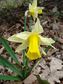 Narcissus pseudonarcissus1.jpg