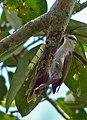 Narrow-billed Woodcreeper (Lepidocolaptes angustirostris) (31652196371).jpg