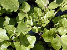 Nasturtium microphyllum, selada air, di Hawaii