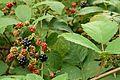 National colection of Rubus, Poznan, Dendrological Garden (Rubus wimmerianus).JPG