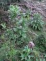 Natre - Solanum sp. 01.jpg