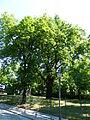 Naturdenkmal Stiel-Eiche Friedhof der Märzgefallenen Volkspark Berlin-Friedrichshain 06.JPG