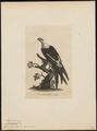 Nauclerus furcatus - 1700-1880 - Print - Iconographia Zoologica - Special Collections University of Amsterdam - UBA01 IZ18200346.tif