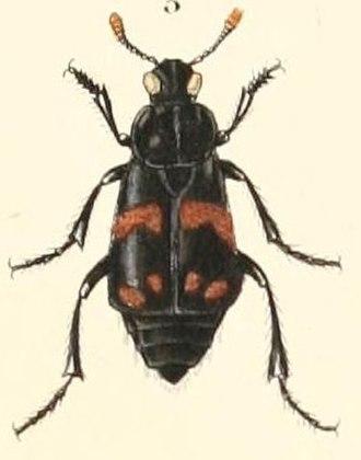 Nicrophorus didymus - Image: Necrophorus didymus