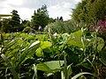 Nelumbo nucifera – Arboretum Ellerhoop 4.jpg