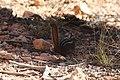 Neotamias umbrinus (29592859290).jpg