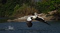 Nesting spot-billed pelican.jpg