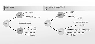 Lymphopoiesis - Image: New Mixed Myeloid Lymphoid Progenitor Tree(RCCH) Grayscale