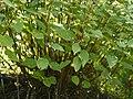 Nilgirianthus reticulatus (Stapf) Bremek. (15401634562).jpg