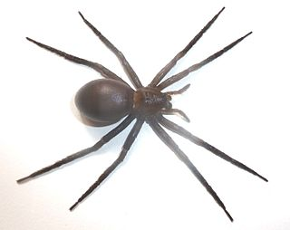 <i>Nilus</i> (spider) genus of arachnids