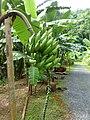 Niu Chora-ke Amphawa (AAA Group) at Queen Sirikit Botanic Garden - Chiang Mai 2013 2404.jpg
