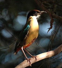 Noisy Pitta inskip may06.JPG