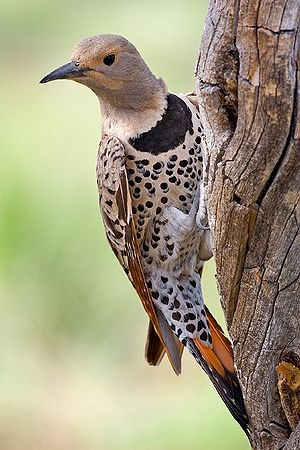 Northern flicker - Female C. a. auratus
