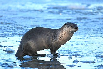 Lontra - Image: Northern River Otter on Seedskadee NWR (22802102984)