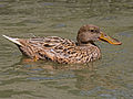 Northern Shoveler female RWD2.jpg
