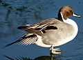 Northern pintail,adult male Spießente (Anas acuta) Standing on ice at glorious blue sky (cropped).jpg