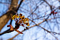 Norway maple (25644203062).jpg