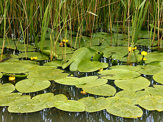 <i>Nuphar lutea</i> species of plant