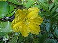 Nymphoides peltata2.jpg