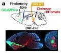 OFC VTA optogenetics.jpg
