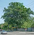 Oak-tree, Chernihiv.JPG