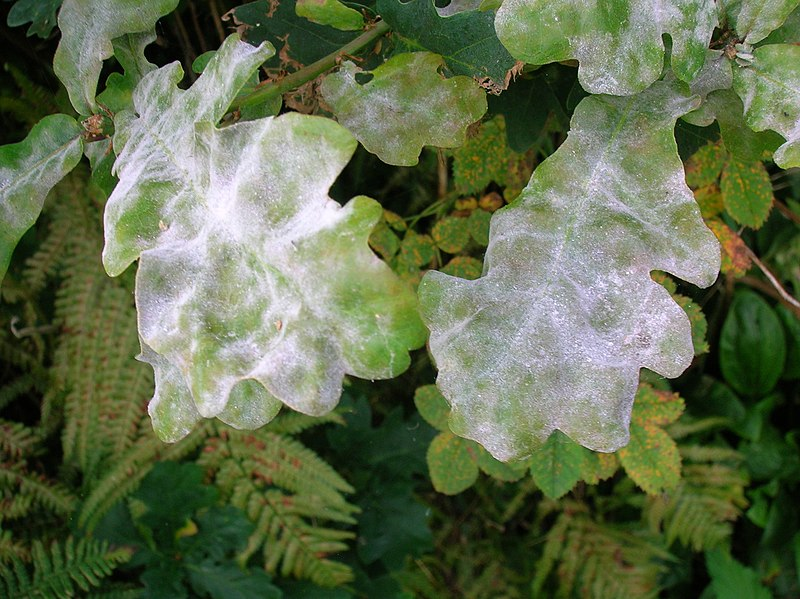 File:Oak Mildew.JPG